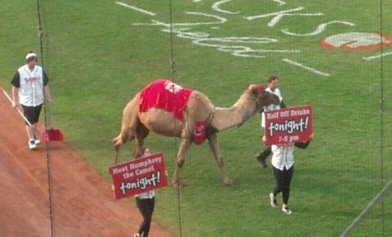 Yes, that is a real camel.